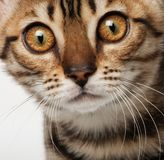 Kitten portrait. Funny kitten close up portrait Royalty Free Stock Photo