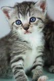 kitten portrait Stock Photography