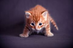 Kitten portrait Royalty Free Stock Photo