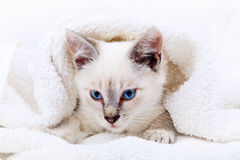 Kitten Portrait Images stock