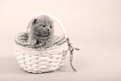 Kitten portrait in a basket. Cute kitten in a small basket, British Shorthair cat, , copyspace, face and paws out of the basket stock photo