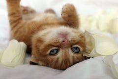 Kitten portrait Royalty Free Stock Photography