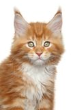 Kitten portrait Royalty Free Stock Image