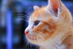 Kitten portrait orange-red, small cat cute select focus with shallow depth of field stock photography