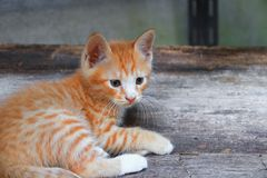 kitten portrait orange-red, small cat cute on the wooden. royalty free stock photos