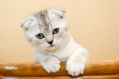 Kitten portrait Stock Photography