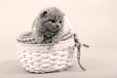 Kitten portrait staying in a basket Stock Images