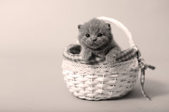 Kitten portrait staying in a basket Stock Photography