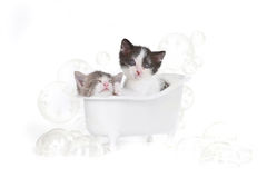 Kitten Portrait in Studio Taking a Bath Stock Image