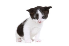 Kitten Portrait in Studio on White Background Stock Image