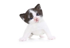 Kitten Portrait in Studio on White Background Royalty Free Stock Image