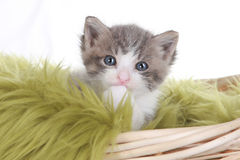 Kitten Portrait in Studio on White Background Stock Photography