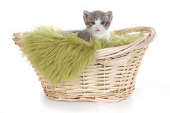 Kitten Portrait in Studio on White Background Royalty Free Stock Photos