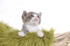 Kitten Portrait in Studio on White Background Royalty Free Stock Photography