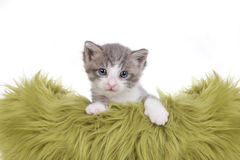 Kitten Portrait in Studio on White Background Royalty Free Stock Images