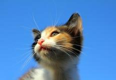 Kitten portrait under blue sky Royalty Free Stock Photography