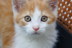 Kitten portrait Royalty Free Stock Image