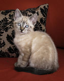 Kitten Posing. Brown kitten with blue eyes posing in sitting position Stock Photo