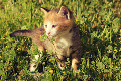 Kitten. Posing outdoor on sunny day Stock Photography