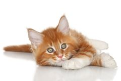 Kitten posing on a white background Stock Images