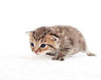 Kitten prepares to jump Royalty Free Stock Images
