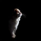 Kitten profile Royalty Free Stock Images