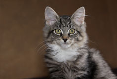 Kitten Profile Immagine Stock