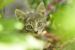 Kitten on the prowl. Royalty Free Stock Photos