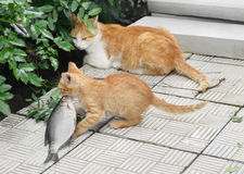 Kitten pulls fish.Hunting, food. Royalty Free Stock Photo