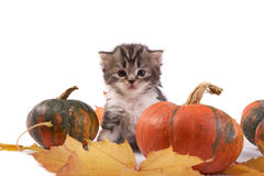 Kitten and pumpkins Stock Photography