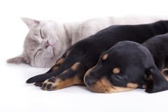 Kitten  and puppies Stock Image