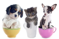 Kitten and puppies in teacup Royalty Free Stock Photo
