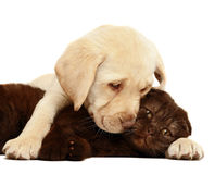 Kitten and puppy. Kitten and puppy on a white background Royalty Free Stock Images