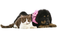 Kitten and puppy. Stock Image