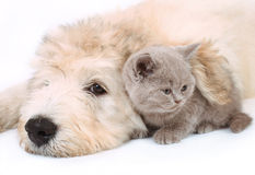 Kitten and puppy. On white background Royalty Free Stock Image