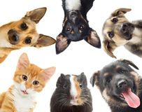 Kitten and puppy and guinea pig Royalty Free Stock Photography