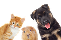 Kitten and puppy and guinea pig looking Stock Photo