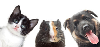 Kitten and puppy and guinea pig Stock Photo