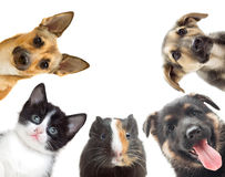 Kitten and puppy and guinea pig Stock Images