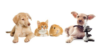 Kitten and puppy and guinea pig Stock Photos