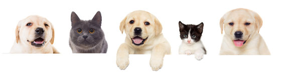 Kitten and puppy Labrador peeps Royalty Free Stock Photo