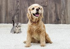 Kitten and puppy looking Stock Image