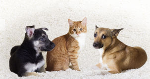 Kitten and puppy  looking Royalty Free Stock Images