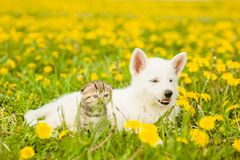 Kitten and puppy lying on a dandelion field stock image