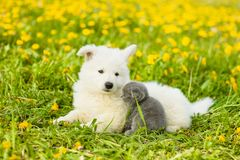 Kitten and puppy lying together on green grass royalty free stock images