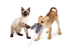 Kitten and Puppy Playing With Feather Toy Stock Image