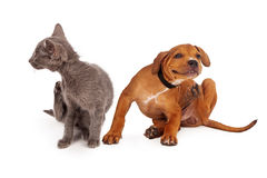 Kitten and Puppy Scratching. A small kitten and puppy sitting together on a white background and scratching stock photos