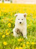 Kitten and puppy sitting together on a dandelion field royalty free stock images