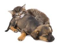 Kitten and puppy sleep Stock Photo