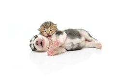Kitten and puppy sleep on white background Royalty Free Stock Image